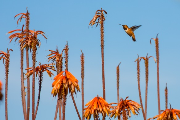 Allen's Hummingbird at Playa Vista Central Park