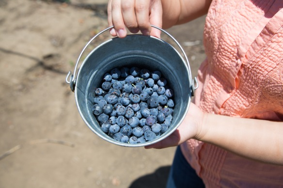 Our Blueberries